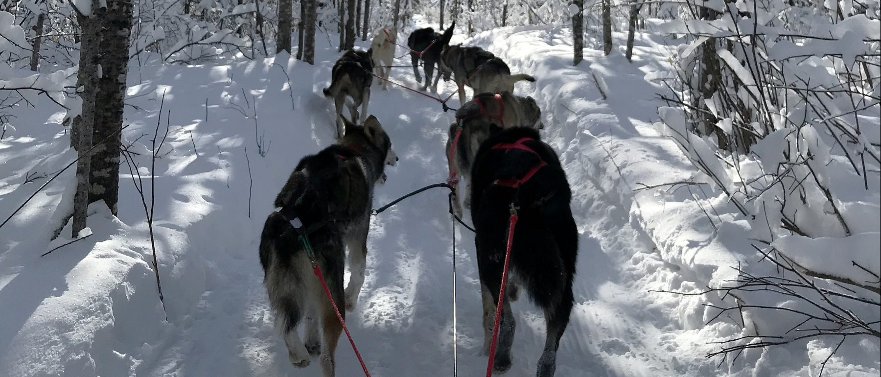 View of Dogs sledding through the Winter near Grand Ely Lodge