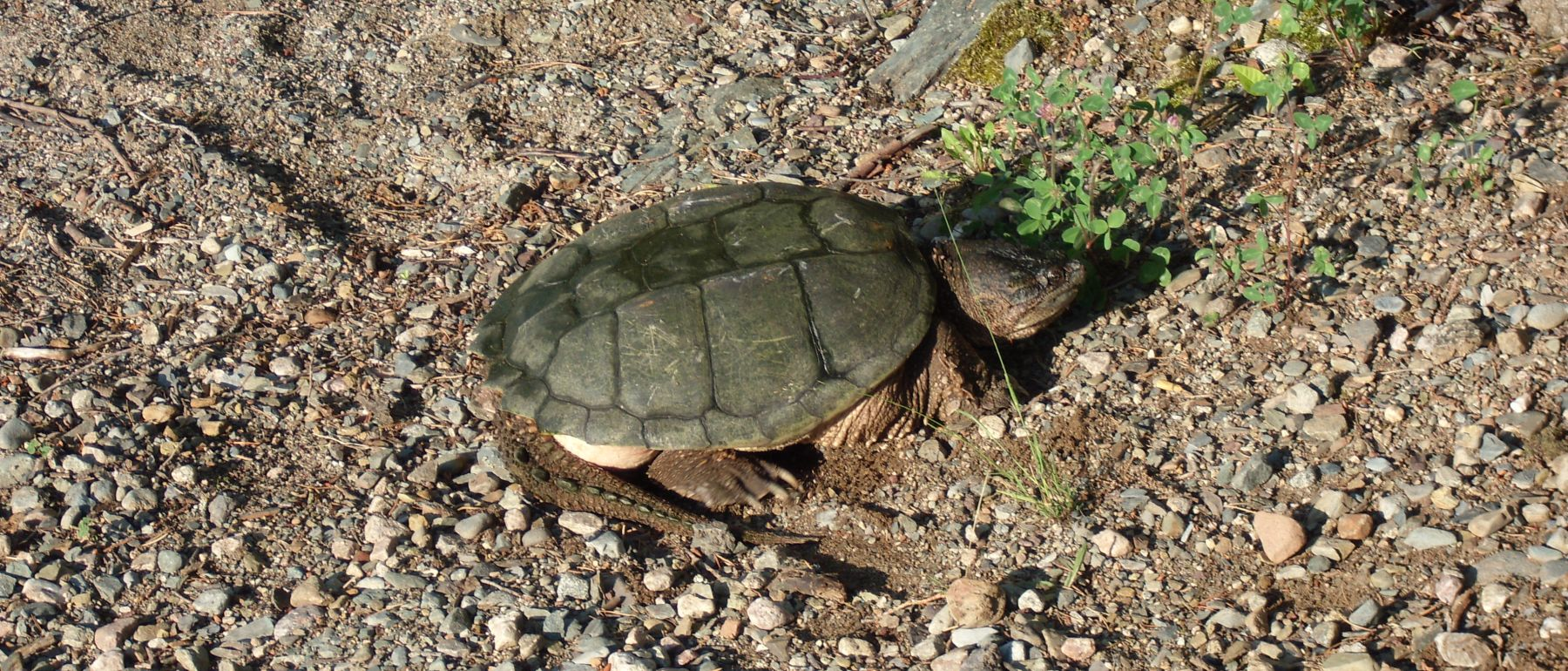turtle in minnesota during spring